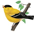 American Goldfinch by SigneNordin
