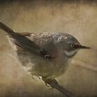 White-Browed Scrubwren by garts