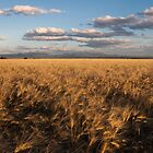 Narrabri Fields of Gold by Tim Boehm