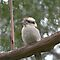 Kookaburra by Rosemaree