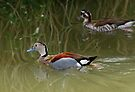 The Ringed Teal (Callonetta leucophrys) by buttonpresser