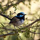 Blue Wren. by trevorb