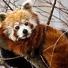 Red panda on a lazy afternoon by Shaun Whiteman