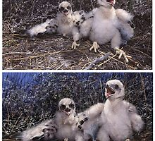 BLACK HARRIER CHICKS (Circus maurus)  (ONLY THE TOP PIC IS A  PHOTO) PLEASE READ BLURB by owen bell