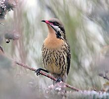 Spiny Cheeked Honeyeater taken Arid Lands at Port Augusta by Alwyn Simple