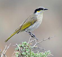 Singing Honeyeater taken Arid Lands Park at Port Augusta by Alwyn Simple