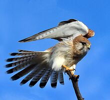 Nankeen Kestrel taken Gluepot in South Australia by Alwyn Simple