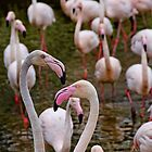 A stand of Greater pink Flamingos by buttonpresser