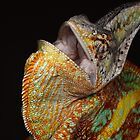 adult chameleon being angry. by Scott Thompson