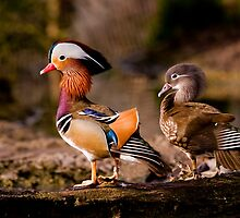 Mr & Mrs Mandarin Duck - (Aix galericulata) by Robert Taylor
