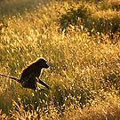 Jumping Baboon by BlaizerB