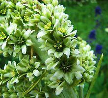 Colorado Wildflowers - Colorado False Hellebore by Bill Hendricks