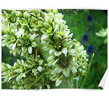 Colorado Wildflowers - Colorado False Hellebore Poster