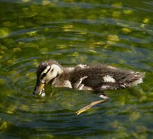 Sibley Baby Mallard by swaby