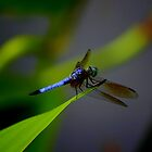 Dragonfly on Green leaf by Brent McMurry