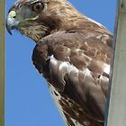 red-tailed hawk by jdphoto86