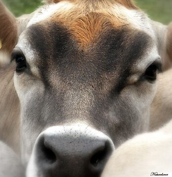 Cow  Eyes by naturelover