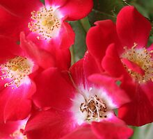 Wild Red Roses by Laurel Talabere