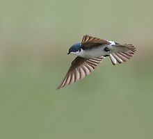 Tree Swallow In Flight Squared / Tree Swallow by Gary Fairhead
