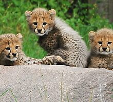 Cheetah cubs by Alan Mattison