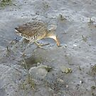 Clapper Rail by CarolD