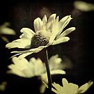 Wild Oxeye Daisy by AngelaFoster