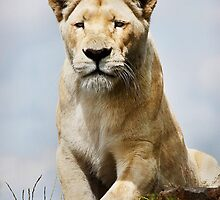 White Lioness by BCritchley
