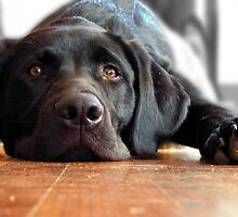 Lazy Black Lab  by SykoGraphx