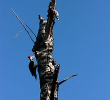 Wood Pecker  by CaptureRadiance