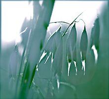 Fields of corn. Polish summer . by © Andrzej Goszcz,M.D. Ph.D