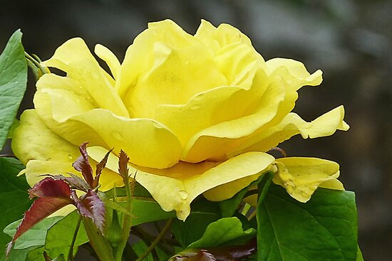 Lovely  Yellow  Rose by lynn carter