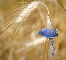 Blue Butterfly in Wheat Field by Laurent Aphecetche