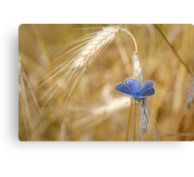Blue Butterfly in Wheat Field Canvas Print