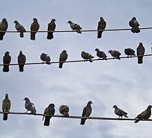 Pigeons on the wire by Tim Freedman