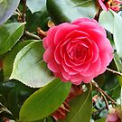 Rose in Spring by AnaGoncalves