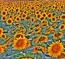 Sunflower field in Şarköy-TURKEY by rasim1