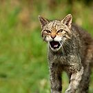 When Wild Cats Attack by Peter Denness