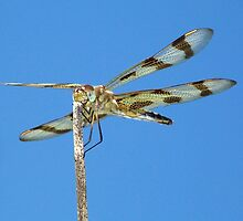 Halloween Pennant Dragonfly against the blue sky part 2.  by William Brennan