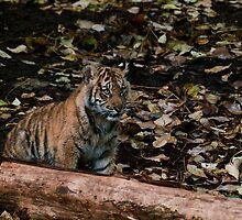 Baby Sumatran Cub by Gerard Rotse