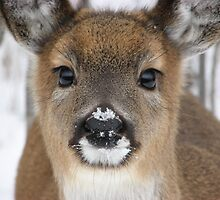 Snowy Nose - Fawn Closeup by Shauna  Kosoris