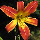 Day Lily of Many Colors by teresa731