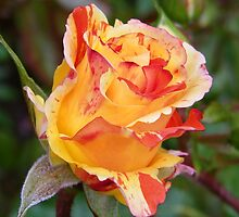 Rose Bud .. Oranges and Lemons by LoneAngel