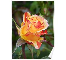 Rose Bud .. Oranges and Lemons Poster