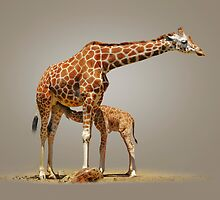 BREAKFAST - RETICULATED GIRAFFES by Michael Sheridan