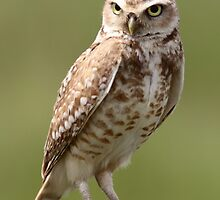 Burrowing Owl by Jillian Johnston