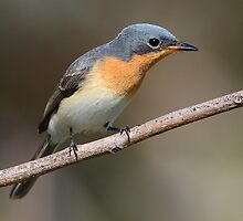 ''Female Satin Flycatcher'' by bowenite