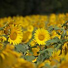 Sunflowers in Cognac by PaulMcGuinness