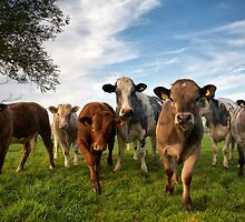 Cattle in Norfolk, UK by Kathy Wright