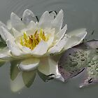 Waterlily  in A Pond by aila
