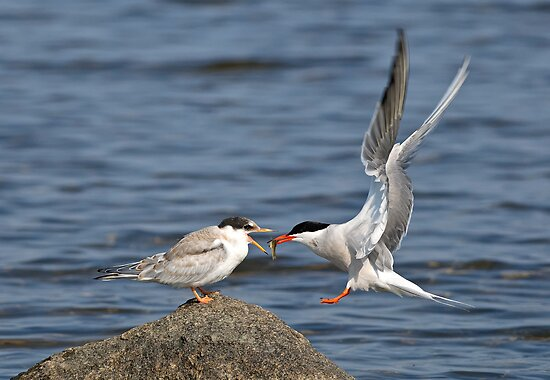 Feeding Time - Common Terns, Ottawa, Ontario by Michael Cummings